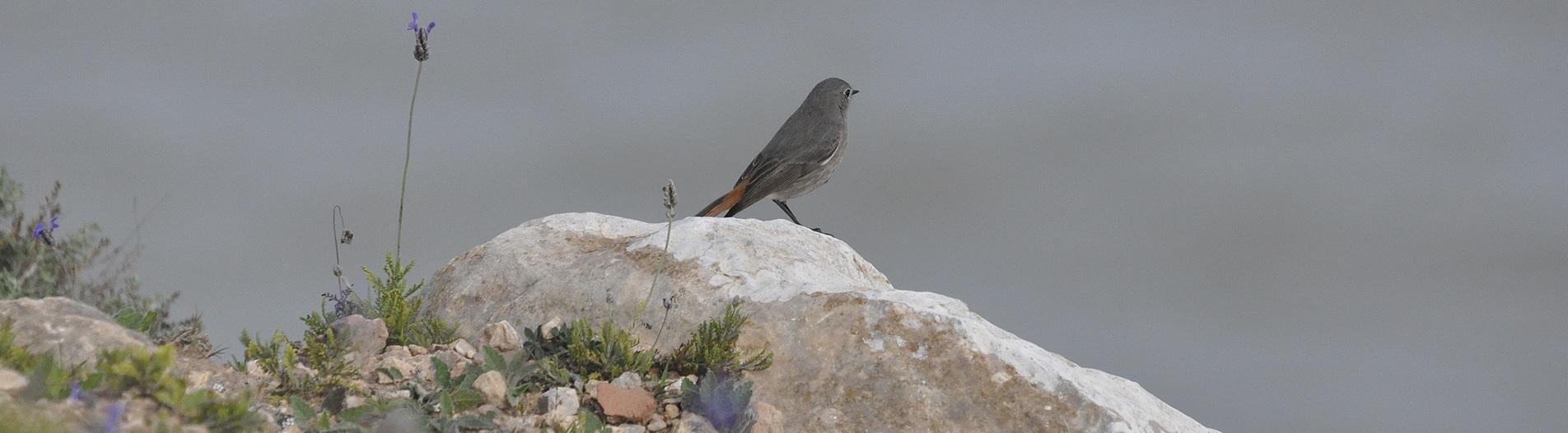 Phoenicurus moussieri Morocco