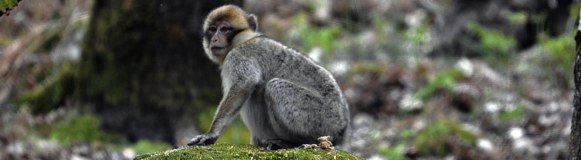 macaca sylvanus excursion naturalez marruecos